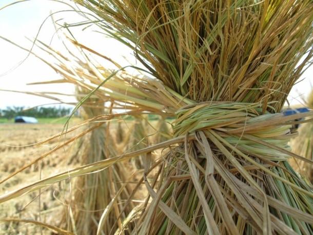 Рисовая солома